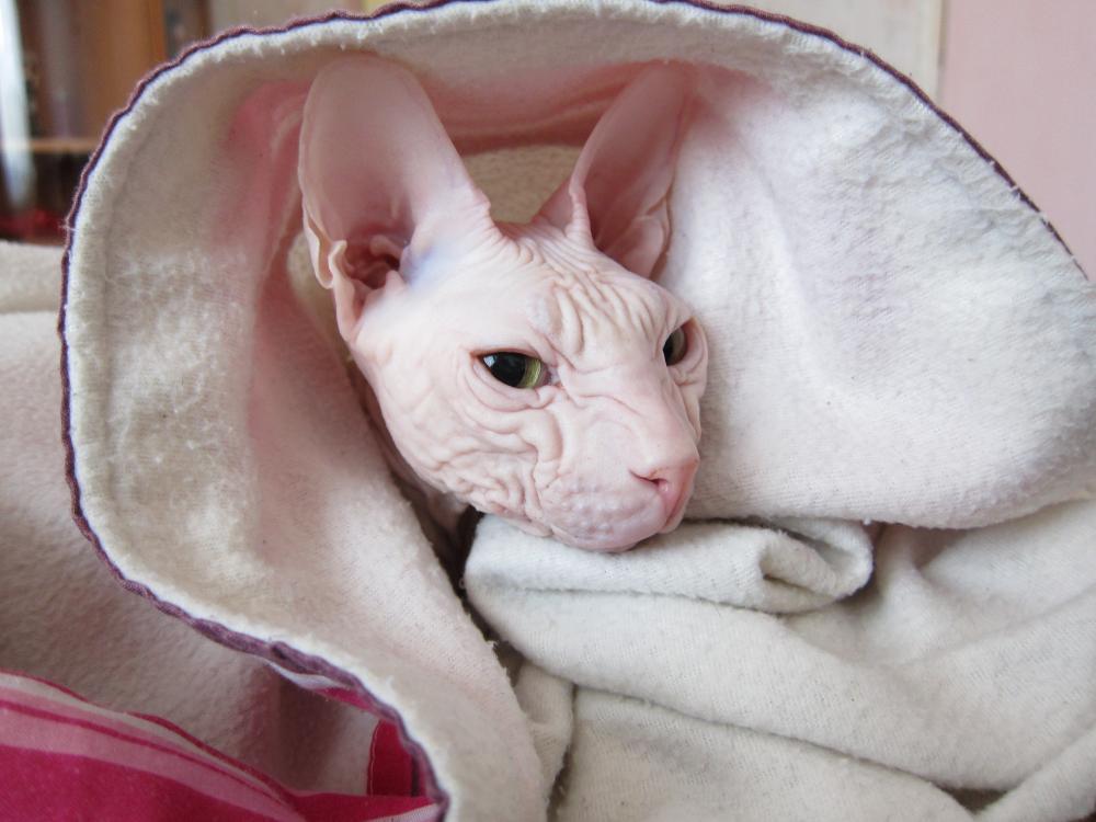 Выкройка кот сфинкс