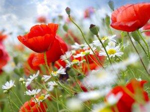 50423-flower-poppy_family-factory-poppy_seed-wildflower-1280x960.jpg