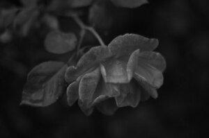 work.7205434.1.flat,550x550,075,f.black-and-white-rose.jpg