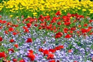 Nature___Flowers_Beautiful_meadow_saffron_flowers_066217_.jpg