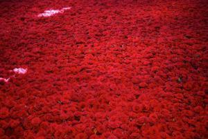 gallaccio_roses_3.jpg