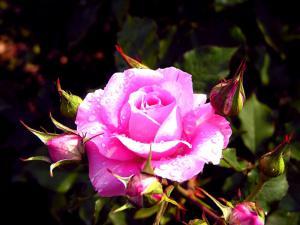 last_rose_for_cherie.jpg