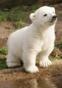 0379b94e0939cdb5589b15b5eb81d424__berlin_zoo_baby_polar_bears.jpg