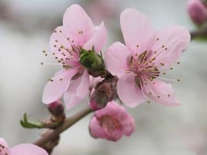 Blooming_Flower_Photos_Pink_Flowers_in_Bloom_Brown_Thin_Branch.jpg