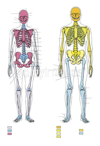 Скелет женский фото 3