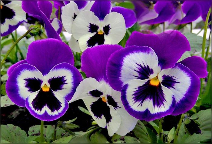 Анютины глазки - gardenia.ru