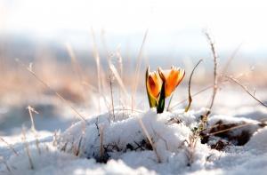 10466flower_flower_flower_winter_snow_background_winter_snow_wallpaper_widescreen_full_screen_widescreen_hd_wallpapers_background_wallpaper.jpg